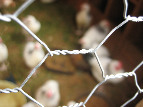 chicken wire photo
