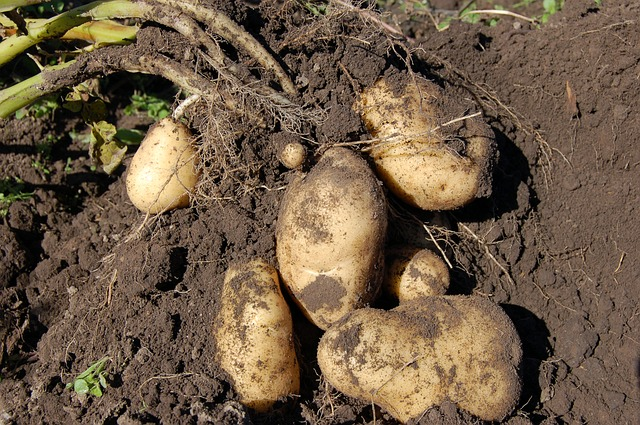 Who knew potatoes would make great vegetable plants?