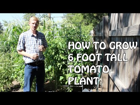 Grow A 6 Foot Tomato Plant With A Garden Infrastructure Plan
